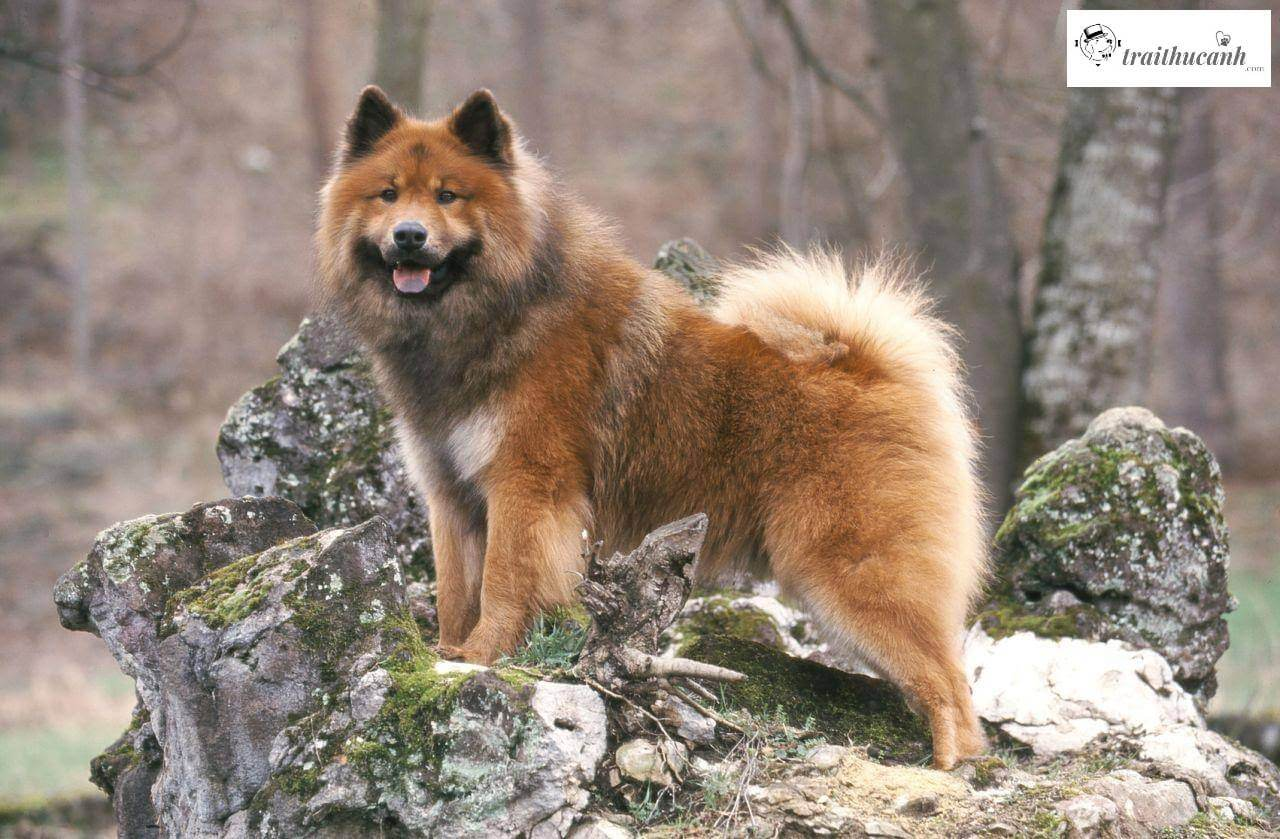 cho-samoyed-lai-wolf-chow-co-ten-eurasier